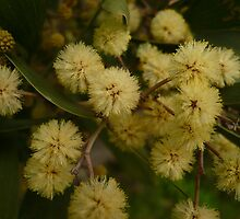 LT Acacia Blossoms 1 by beeden