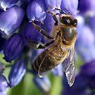 Bee on Grape Hyacinth by Cindy McDonald