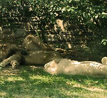 Sleeping Lions by weheartdogs