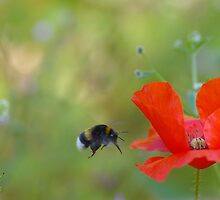 bee on poppy - abeille qui vole vers son coquelicot by mariette sardin