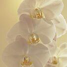 Moth Orchid by Kent Burton