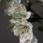 spring blossom by Floralynne