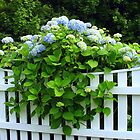 HYDRANGEA ON FENCE by Joan Harrison
