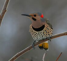 Northern Flicker by naturalnomad