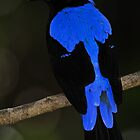 Male Asian Fairy Bluebird by Winston D. Munnings