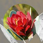 Protea nitida - New leaves by Shaun Swanepoel