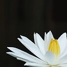 The White Lily by Nathan Borg