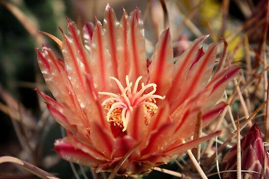 Cacti flower by annalisa bianchetti