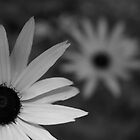 black and white daisy by chasityperry