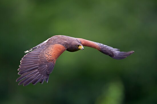 Harris Hawk in Flight by Daniel  Parent