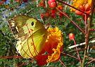 Butterfly ~ Southern Dogface by Kimberly Chadwick