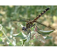 Dragonfly ~ Blue Dasher (Female) Photographic Print