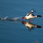 Common merganser taking of of water. by Aler