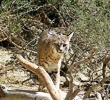 Bobcat by Sherry Pundt