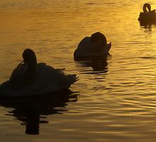 Sunset swans by HannahT
