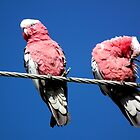 Galahs on a wire by Craig Stronner
