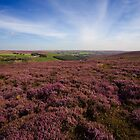 Kempswithen Heather by Stewart Laker