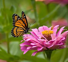 Small Viceroy on Pink Flower by marilynwood