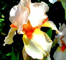 Peach Iris Flower by John Hare