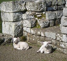 Spring Lambs, Birdoswald Roman Fort by Peter Telford