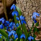 Siberian Squill - Scilla by Michael Cummings