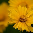 Coreopsis by Michael Cummings