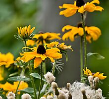 Brown Eyed Susan - Rudbekia by Michael Cummings