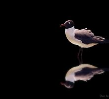 Tuxedo gull..... by DaveHrusecky