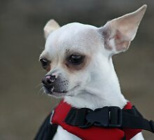 Where ever there are wrongs to be righted, Chihuahua will be there (in color) by Corri Gryting Gutzman