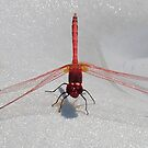 Red Dragonfly II by taiche