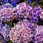 Painted Hydrangea by Lynne Morris