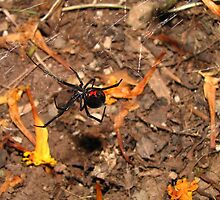 Halloween  black widow spider by nosajnybor