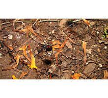 Halloween  black widow spider Photographic Print