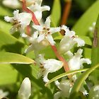 A tiny unknown beauty, probably a Leucopogon. by Trish Meyer