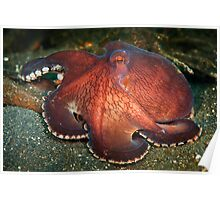 Red coconut octopus - Lembeh Straits Poster