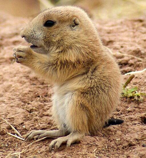 """Baby Prairie Dog"" by Vanwraithen 