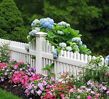 BLUE MOPHEADS HUGGING CAPE COD FENCE by Joan Harrison