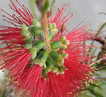 Red Bottlebrush Flower by melforrest