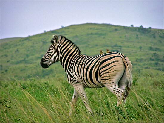 Burchells zebra by mamba