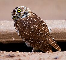 081710 Burrowing Owl by Marvin Collins
