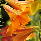 Trumpet Lily &quot;African Queen&quot; by Michael Cummings