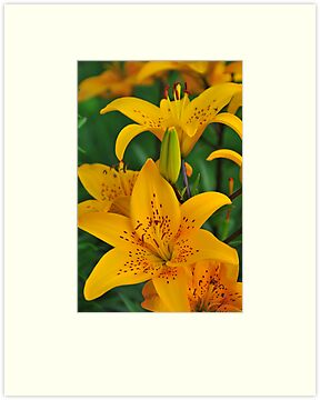 "Asiatic Lily ""Helios"" by Michael Cummings"