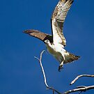 Osprey coming in for a landing by amontanaview