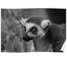 Curious Ring-Tailed Lemur Poster