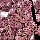 Cherry Blossoms by Kim McClain Gregal