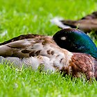 Sleeping Mallard Duck by Michael Cummings