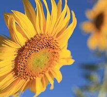 Sunflower by gregorydean