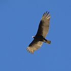 Turkey Vulture by Kimberly Chadwick