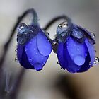 Hepatica nobilis after rain by Romeo Koitme