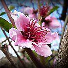Nectarine Blossom by EdsMum